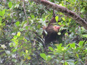Sloth Tortuguero