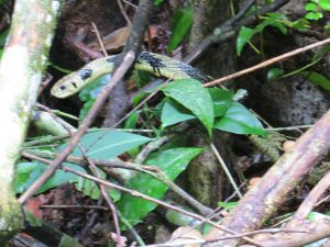 Corcovado yellow and black snake